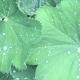 Lotusblüteneffekt